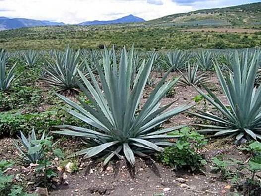 Мексиканские плантации агавы признаны  всемирным наследием